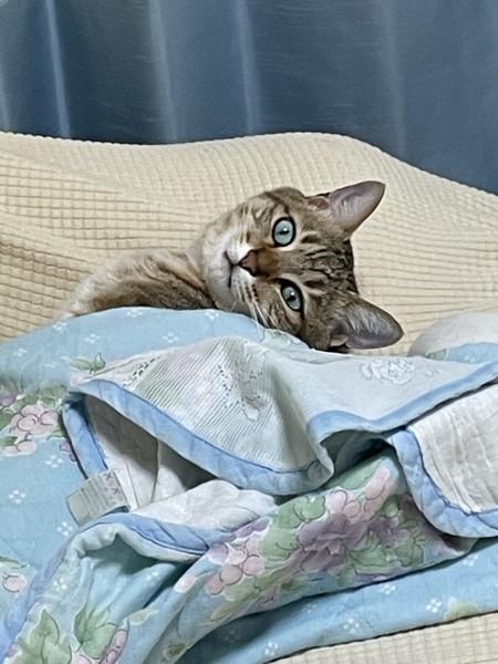 猫 キジトラ こいたろうの写真