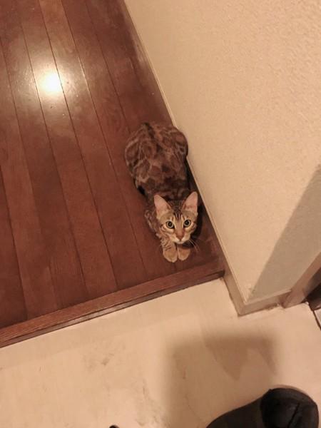 猫 ベンガル パリスちゃんの写真