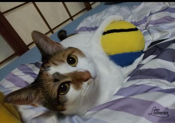 猫 三毛猫 ちぃ~の写真