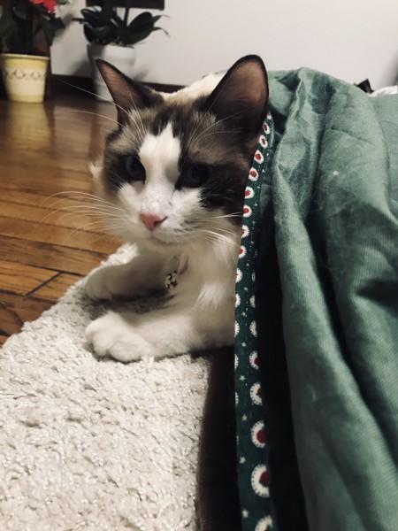 猫 ラグドール ししまろの写真