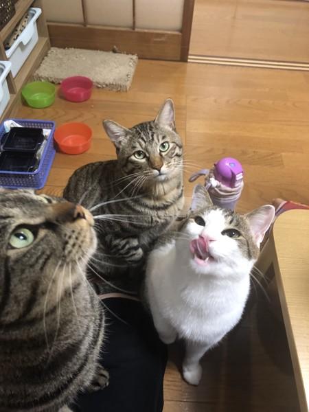 猫 キジトラ 珠来、空珠、珠月の写真