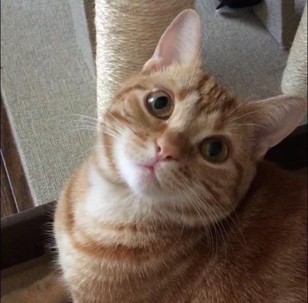 猫 アメリカンショートヘア わこの写真