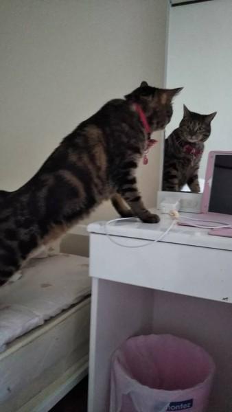 猫 ミックス ミーコの写真
