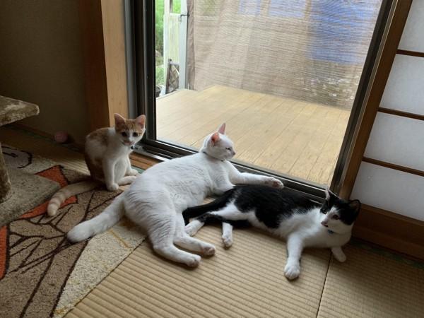 猫 雑種(ミックス) レオとソラとこてつの写真