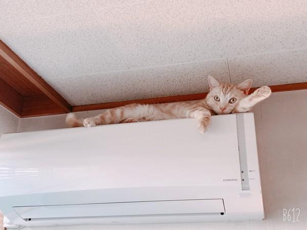 猫 アメリカンショートヘア moca😸の写真