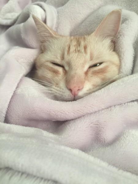 毛布でヌクヌクする猫