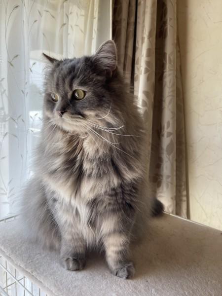 猫 スコティッシュストレート テトの写真
