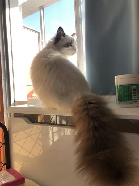 猫 ラグドール とわの写真