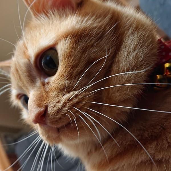 猫 茶トラ マロンの写真