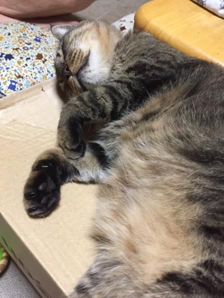 猫 キジトラ ガブリエラの写真