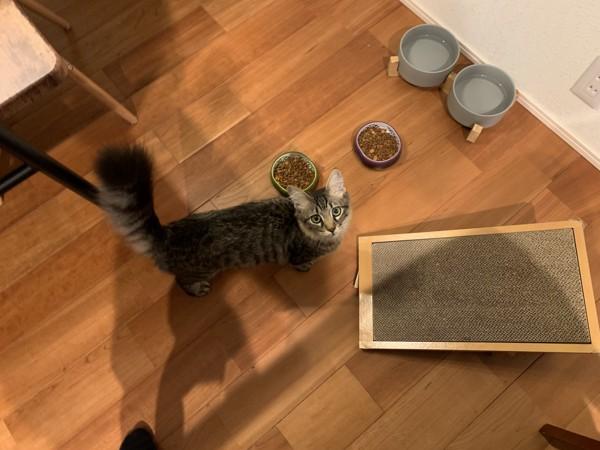 猫 サバトラ ムギの写真