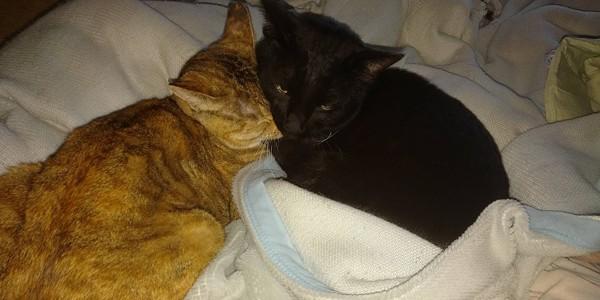 猫 雑種(ミックス) ニャンコ一家の写真