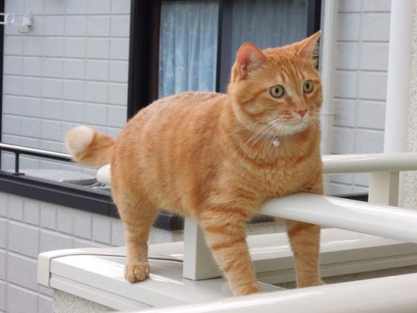 猫 雑種(ミックス) ちゃらおの写真