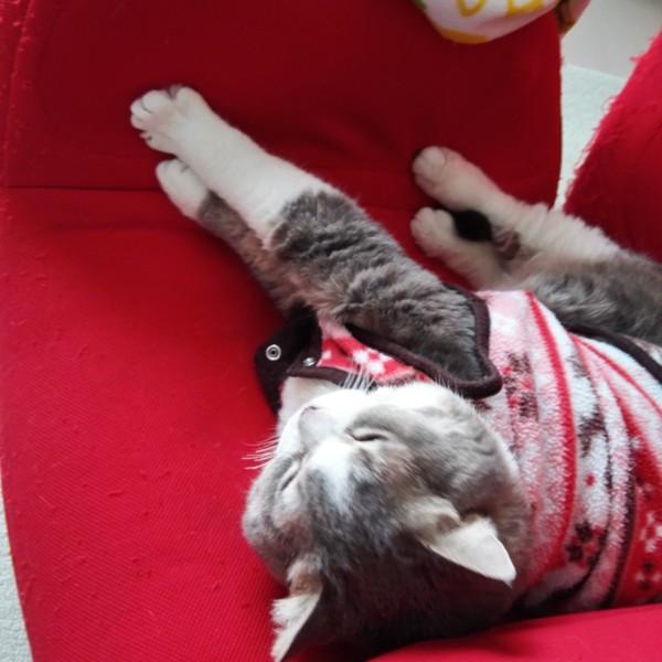 猫 スコティッシュフォールド ティアラの写真