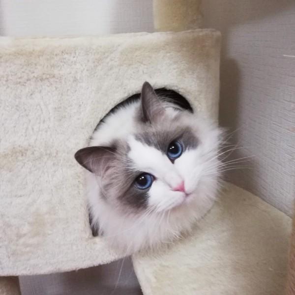 猫 ラグドール 瑠唯にゃんの写真