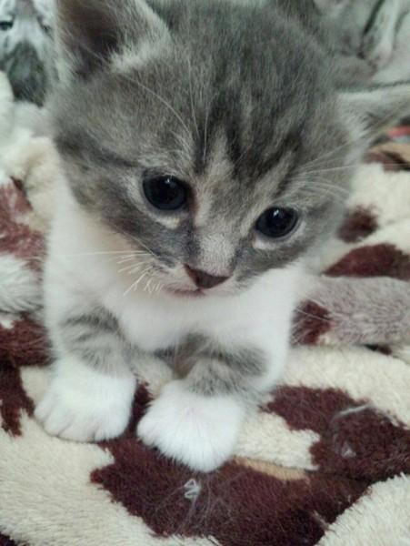 猫 マンチカン 夢々の写真