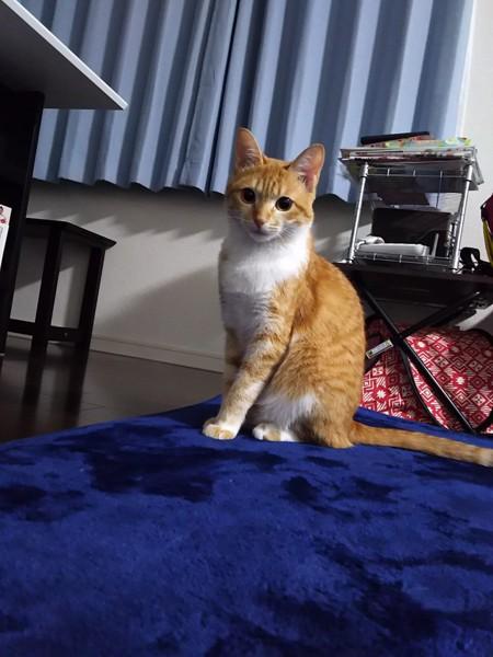 猫 茶トラ ふぅの写真
