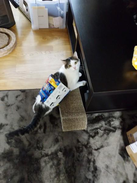 猫 キジシロ みいすけの写真