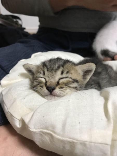 クッションの上でつちのこ寝をする子猫