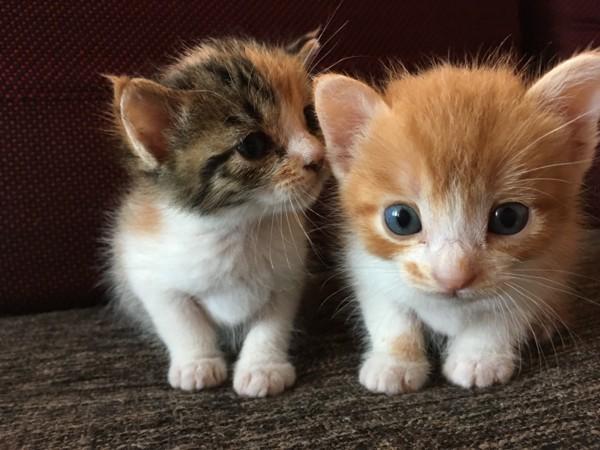 猫 雑種(ミックス) レオナルドとフランシーヌの写真