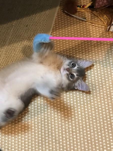 猫 ソマリ ソマリーの写真