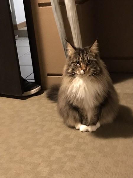 猫 メインクーン マリリンの写真