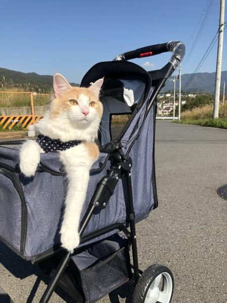 猫 ノルウェージャンフォレストキャット エルの写真