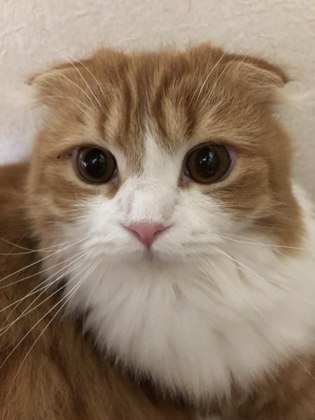 猫 スコティッシュフォールド ミントの写真