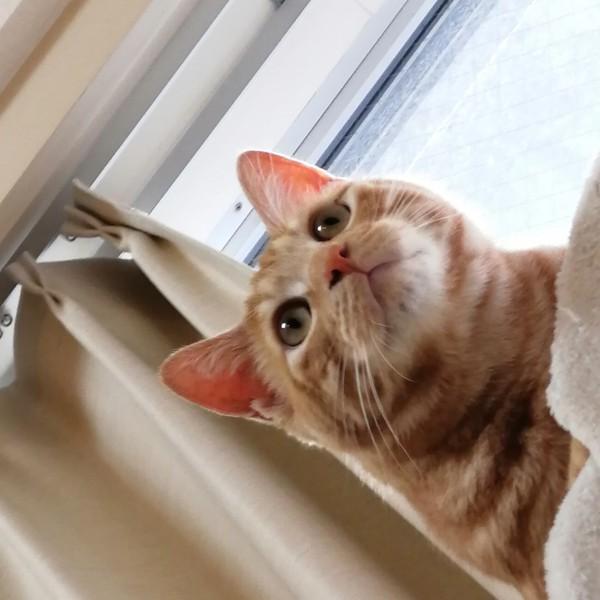 猫 茶トラ 愛之助の写真