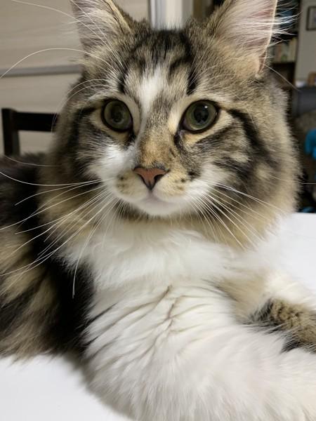 猫 サイベリアン ブン太の写真