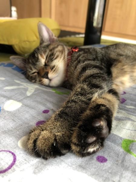 猫 サバトラ ザビィの写真