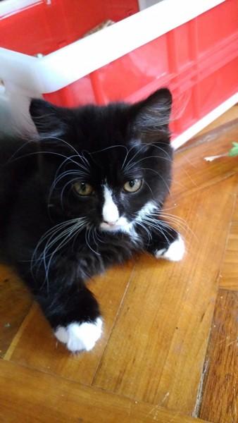 猫 ミヌエット ユヅの写真