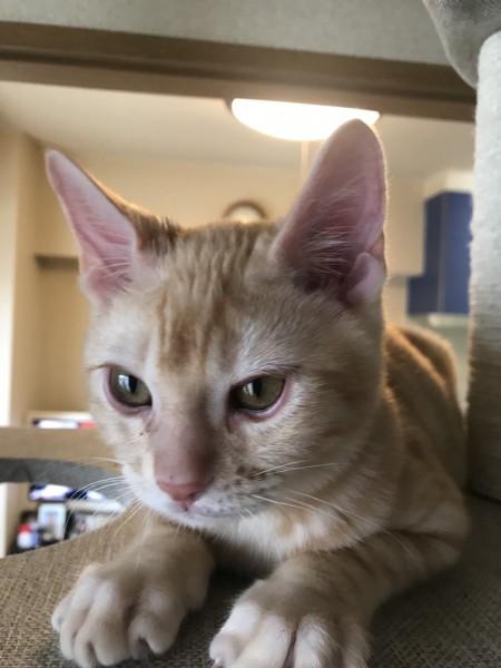 猫 ベンガル まぐろの写真