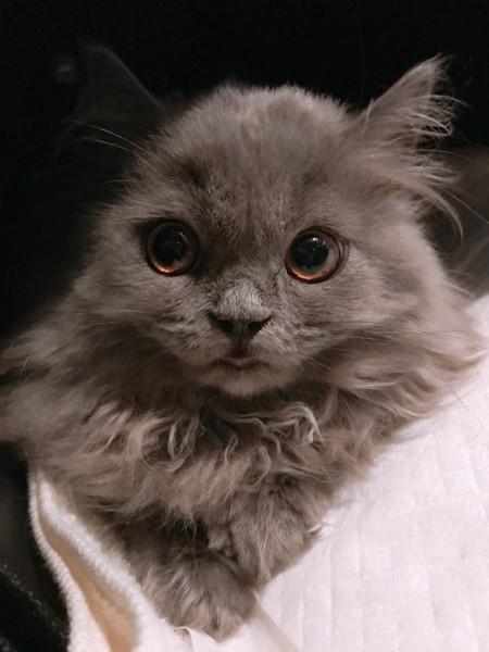 猫 ブリティッシュロングヘア あろはの写真