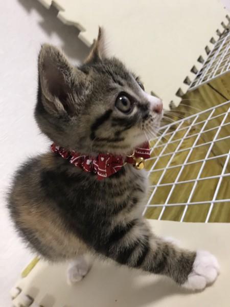 猫 キジトラ ハートの写真