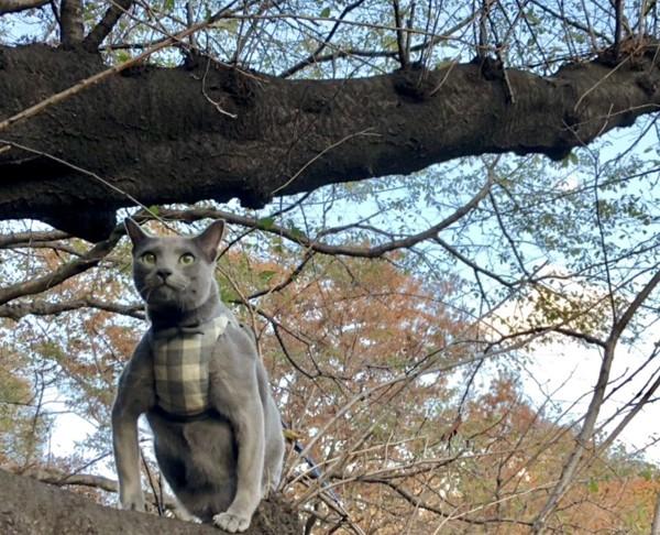 猫 ロシアンブルー 銀太の写真