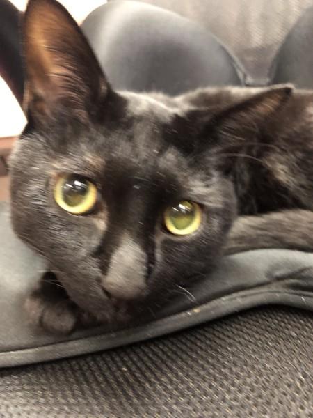 猫 ベンガル キキの写真