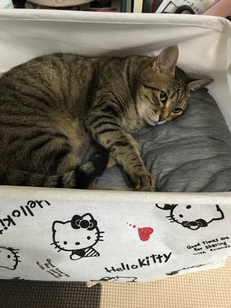 猫 キジトラ ジローの写真