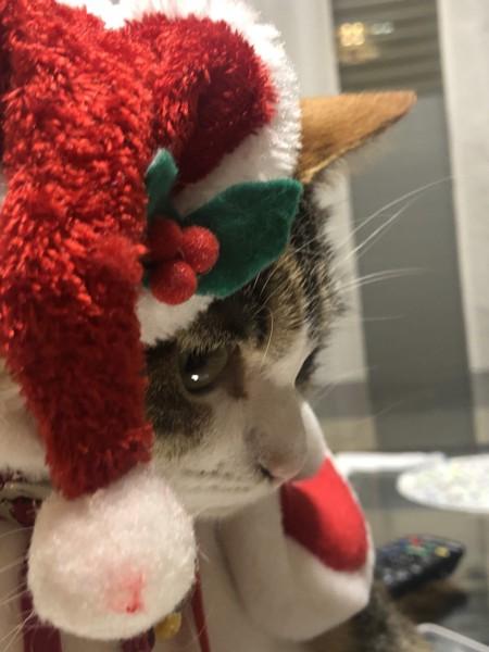 サンタの帽子をかぶる猫