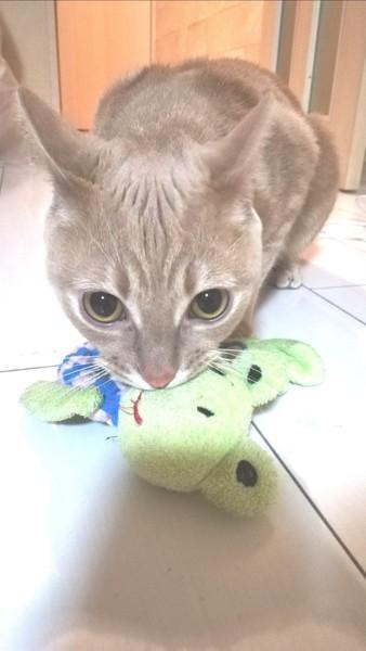 猫 マンチカン イニの写真
