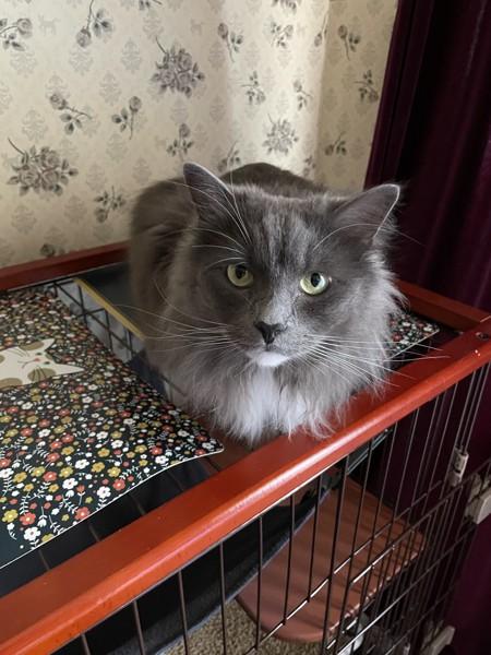 猫 サイベリアン Alanの写真