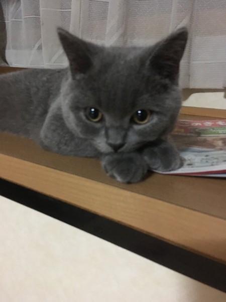 猫 ブリティッシュショートヘア ポポの写真