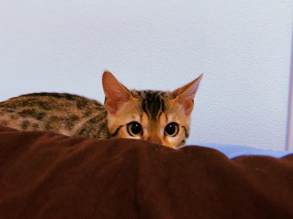 猫 ベンガル Pegの写真