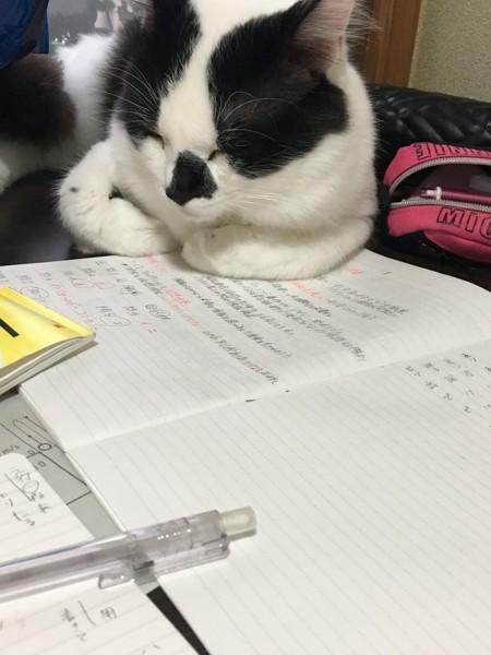 猫 白猫 ぶぁの写真