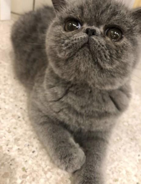 猫 エキゾチックショートヘア よもぎの写真