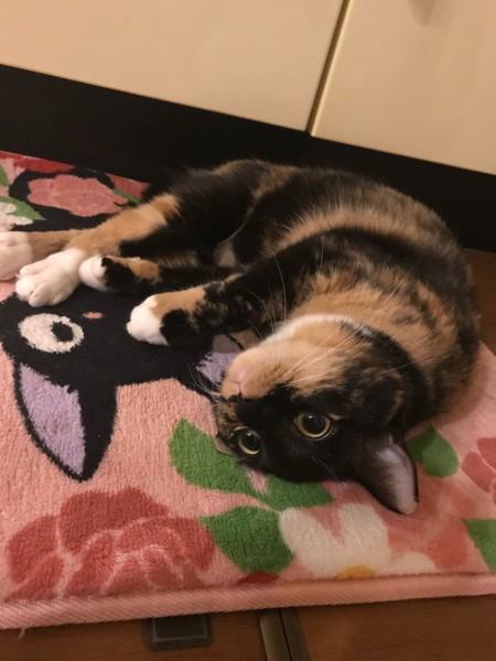 猫 雑種(ミックス) ミトラの写真
