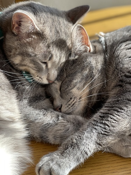 猫 サバトラ むーの写真