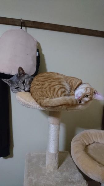猫 茶トラ きなこの写真