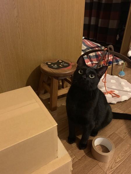 猫 ボンベイ シオンの写真