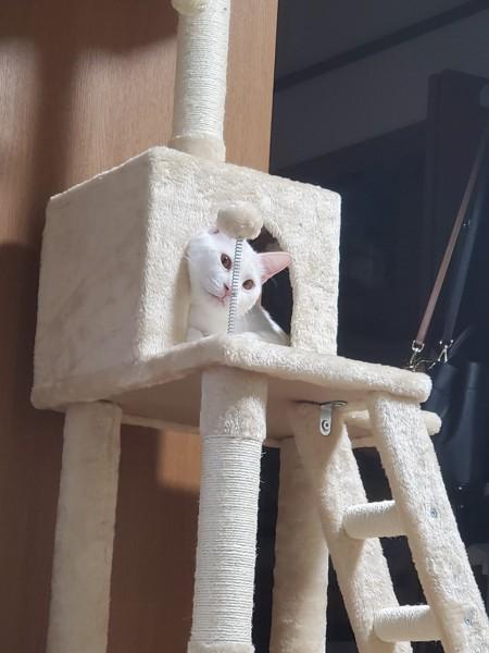 猫 白猫 コナンの写真
